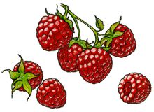 Raspberry branch with berrie Royalty Free Stock Image