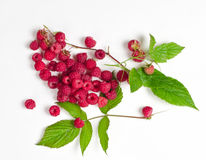 Raspberry branch Royalty Free Stock Photography