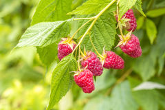 Raspberry on a branch Stock Photo