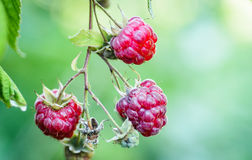 Raspberry on a branch Stock Photography