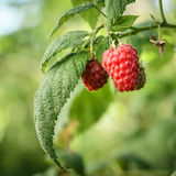 Raspberry on a branch Royalty Free Stock Photos