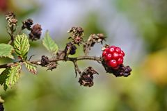 Raspberry on a branch with green and dead leaves Royalty Free Stock Image