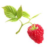 Raspberry branch isolated Royalty Free Stock Images