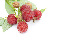 Raspberry on branch macro postcard Stock Photos
