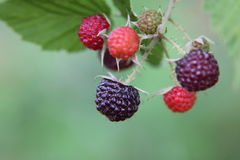 Raspberry on a branch Royalty Free Stock Photo