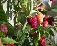Raspberry on branch Royalty Free Stock Photos