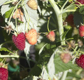 Raspberry on branch Royalty Free Stock Photo