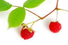 Raspberry branch white Stock Photo