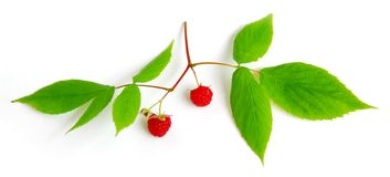 Raspberry branch on white Royalty Free Stock Photos