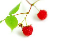 Raspberry branch white Royalty Free Stock Photography