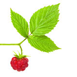Raspberry brench Royalty Free Stock Photography