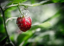 Raspberry bunch Royalty Free Stock Photos