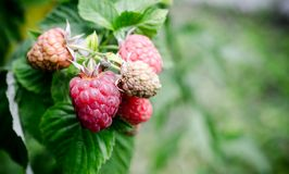 Raspberry bunch. In the garden close up Stock Photo
