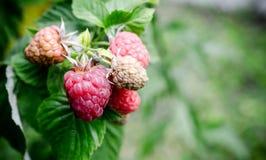 Raspberry bunch Stock Photo