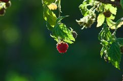 Raspberry on a bush Stock Photo