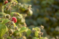 Raspberry bush. Raspberry on a bush in the sunlight Stock Images