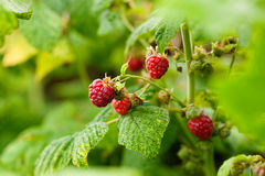 Raspberry bush Stock Photos