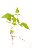 Raspberry bush Stock Photos