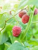 Raspberry bush Stock Images