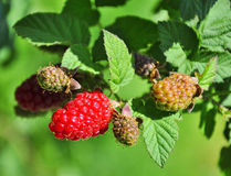 Raspberry bush Royalty Free Stock Photography