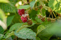 Raspberry bush with berries on branch in the garden. Raspberry bush with berries on a branch in the garden Royalty Free Stock Image