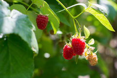 Raspberry bush. Berries ripe raspberries on the bush Royalty Free Stock Photos