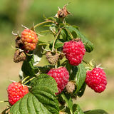 Raspberry bush. On a blurred green background Royalty Free Stock Photo