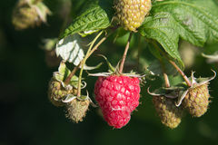 Raspberry bush. On a blurred green background Stock Photography