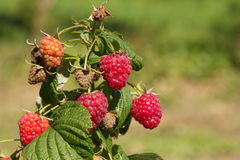 Raspberry bush. On a blurred green background Royalty Free Stock Image