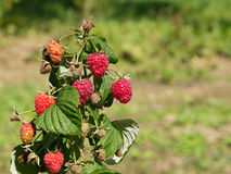 Raspberry bush on a blurred green background. Copy space Royalty Free Stock Image