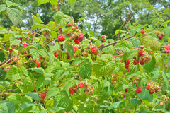 Raspberry-bush. A close up of the raspberry-bush with beries Stock Photography