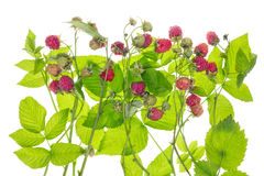Raspberry bush concept Stock Photos