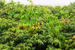 A raspberry bush covered by rain drops and surronded by green plants stock photos