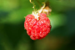 Raspberry on a bush. In the garden Royalty Free Stock Photography