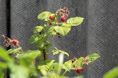 Raspberry bush in the garden. The raspberry bush in the garden Stock Photography