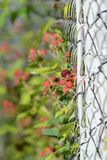 Raspberry bush on the garden near the fence of the chain link stock images