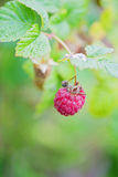 Raspberry bush with green berries Royalty Free Stock Photography
