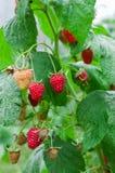 Raspberry Bush. Growing  Berries in the fruit garden. Raspberry Bush. Growing Organic Berries closeup. Ripe raspberry in the fruit garden Stock Photos