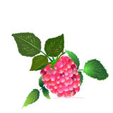 Raspberry from the bush Stock Photo
