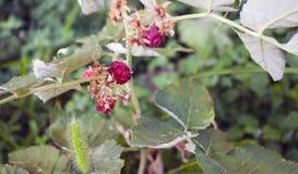 Raspberry-bush. Image of young raspberry-bush in the garden Stock Photos