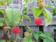 Raspberry bush near a wooden fence. Red berries and green leaves stock image