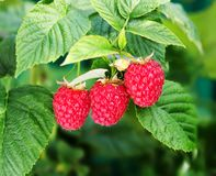 Raspberry bush plant. Branch of ripe raspberries stock photography