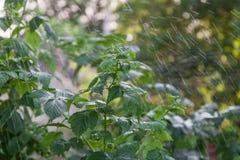 Raspberry bush in the rain. Raspberry bush in the garden under heavy rain closeup Royalty Free Stock Image