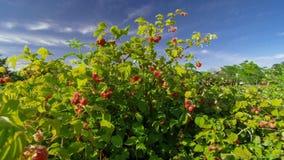Raspberry bush raspberries. With blue sky Stock Photos