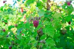Raspberry bush raspberries. With blue sky Royalty Free Stock Photography