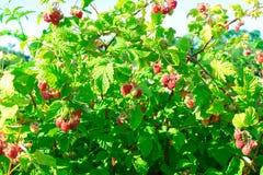 Raspberry bush raspberries. With blue sky Stock Photography