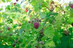 Raspberry bush raspberries. With blue sky Stock Images