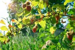 Raspberry bush raspberries. With blue sky Stock Image
