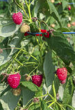 Raspberry in the bush Stock Photography