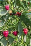 Raspberry in the bush. Red raspberry in the bush Stock Photography